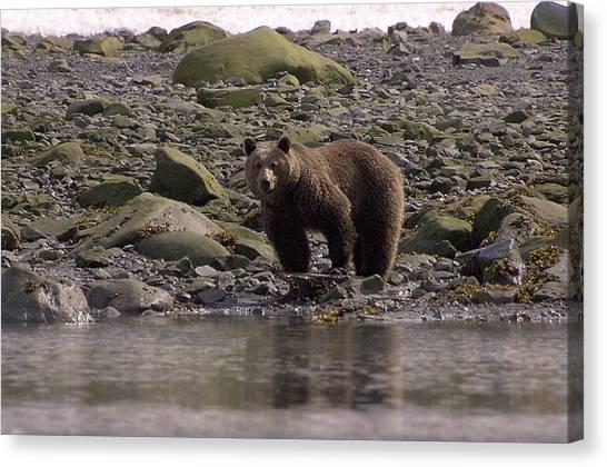 Alaskan Brown Bear Dining On Mollusks Canvas Print