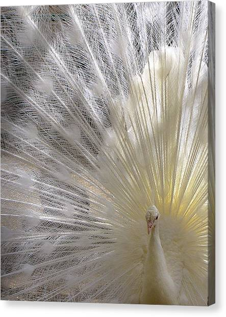 A Leucistic Peacock Canvas Print