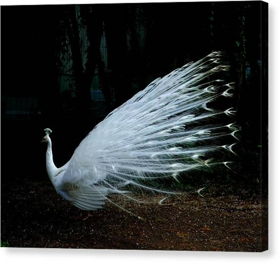 Albino Peacock Canvas Print by Yvonne Ayoub