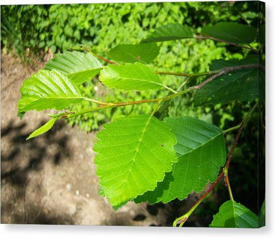 Alder Canvas Print by Ken Day
