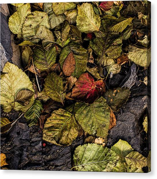 Canvas Print featuring the photograph Alder Leaves Dan Creek 2015 by Fred Denner