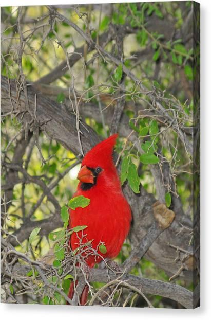 Alert Cardinal Canvas Print