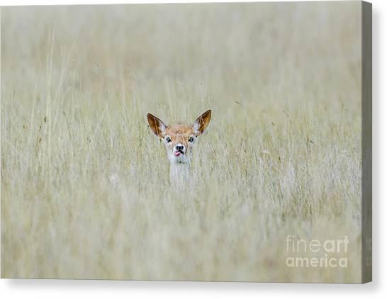 Alert Fallow Deer Fawn - Dama Dama - Laying Long In The Long Grass Canvas Print