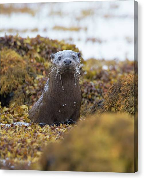 Alert Female Otter Canvas Print