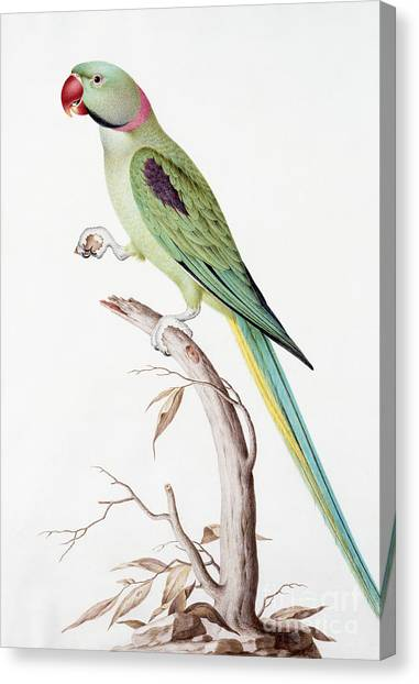 Parakeets Canvas Print - Alexandrine Parakeet by Nicolas Robert