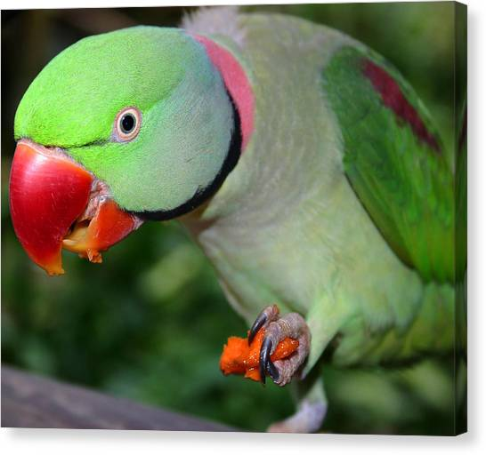 Alexandrine Parrot Feeding Canvas Print by PIXELS  XPOSED Ralph A Ledergerber Photography