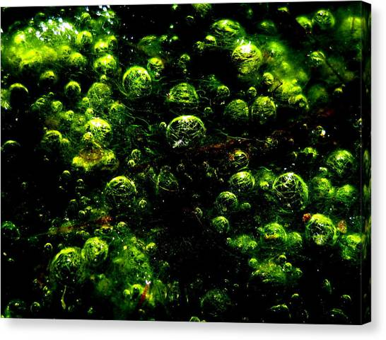 Algae Bubbles Canvas Print by Catherine Natalia  Roche