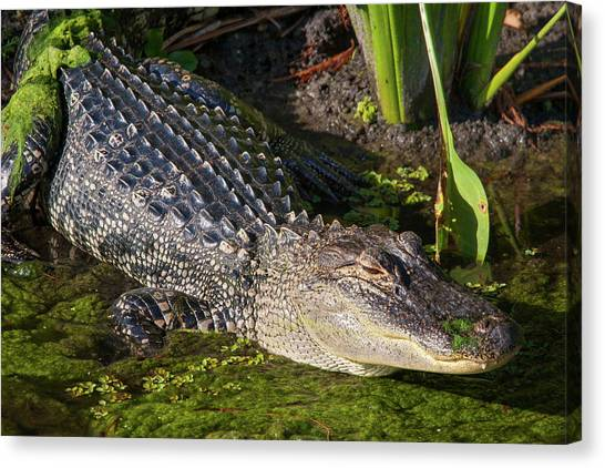 Algae Gator 2 Canvas Print