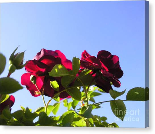 All About Roses And Blue Skies II Canvas Print by Daniel Henning