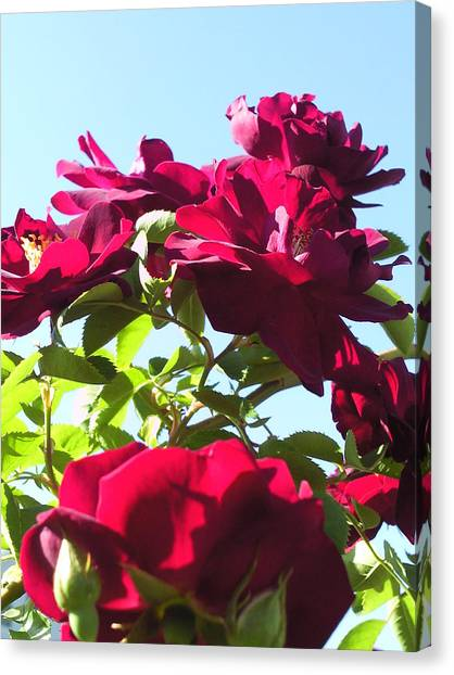 All About Roses And Blue Skies IIi Canvas Print by Daniel Henning