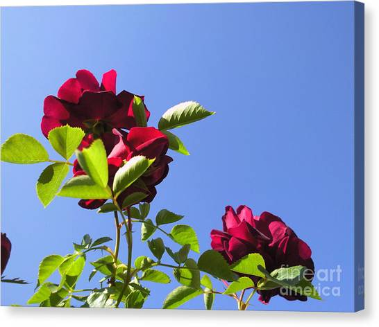 All About Roses And Blue Skies V Canvas Print by Daniel Henning