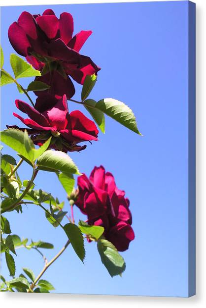 All About Roses And Blue Skies Vii Canvas Print by Daniel Henning