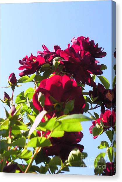 All About Roses And Blue Skies X Canvas Print by Daniel Henning