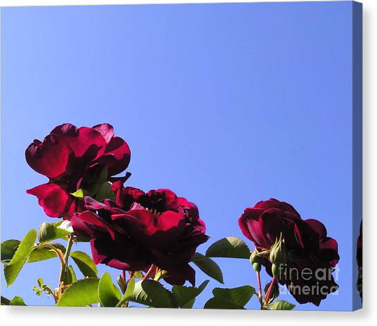 All About Roses And Blue Skies Xi Canvas Print by Daniel Henning