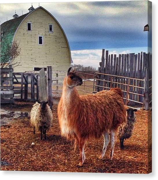 Llamas Canvas Print - all Animals Are Equal, But Some by Raymond Walsh