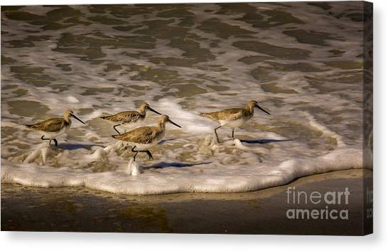 Sandpipers Canvas Print - All Together Now by Marvin Spates