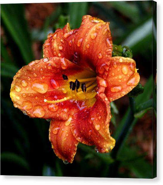 All Wet Lily Canvas Print by Paul Anderson