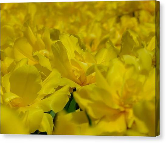 All Yellow Canvas Print by Simona Stroescu