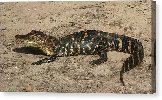 Alligator Baby Canvas Print