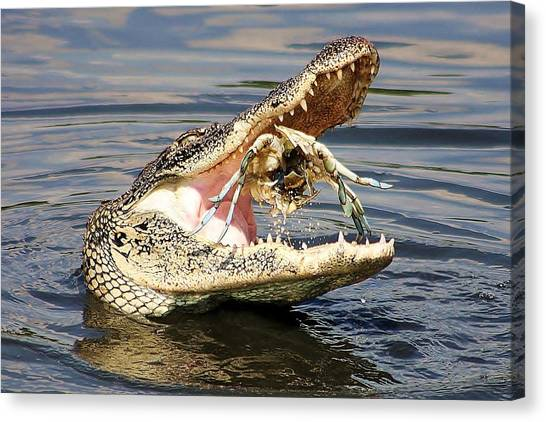 South Baltimore Canvas Print - Alligator Catching And Cracking A Blue Crab by Paulette Thomas