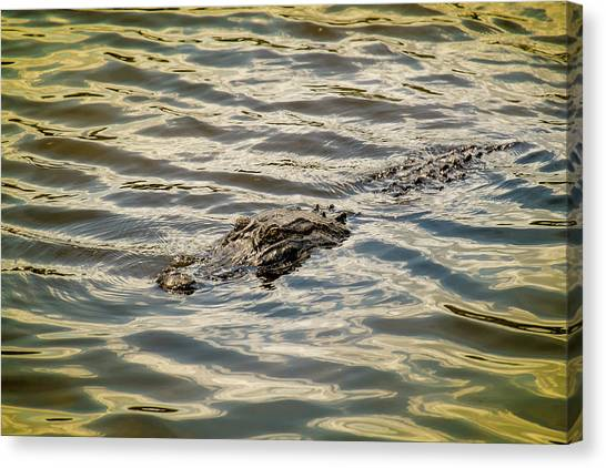 University Of Florida Canvas Print - Alligator In Lake Alice by Louis Ferreira