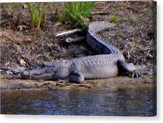 Alligator Resting Canvas Print
