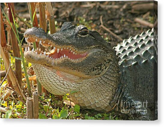 Alligator Showing Its Teeth Canvas Print by Max Allen