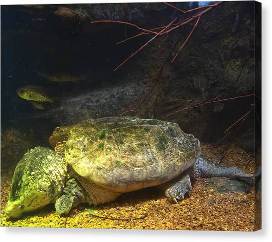 Snapping Turtles Canvas Print - Alligator Snapping Turtle by Chris Flees