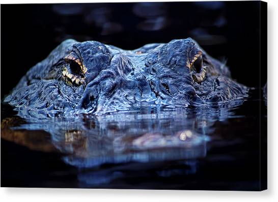 University Of Florida Canvas Print - Alligator Surfacing by Mark Andrew Thomas
