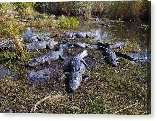Alligators 280 Canvas Print