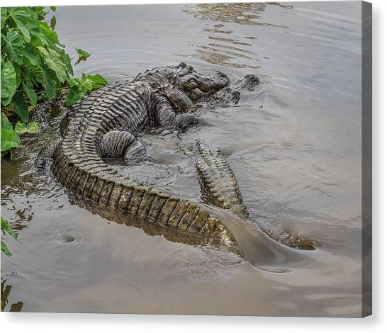Alligators Courting Canvas Print