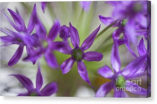 Allium Aflatunense Canvas Print