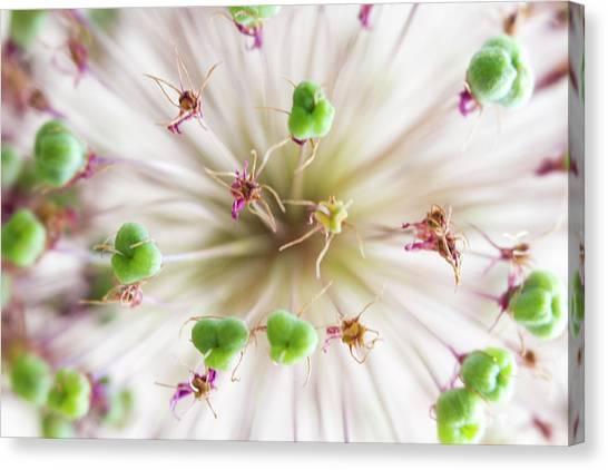Allium Zoom Canvas Print