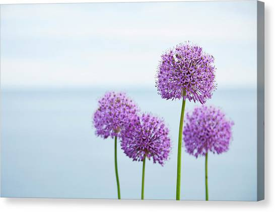 Alliums 1 Canvas Print