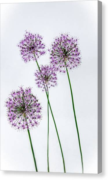 Alliums Standing Tall Canvas Print