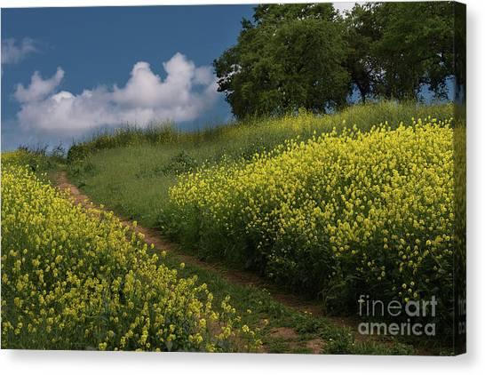 Almaden Meadows' Mustard Blossoms Canvas Print