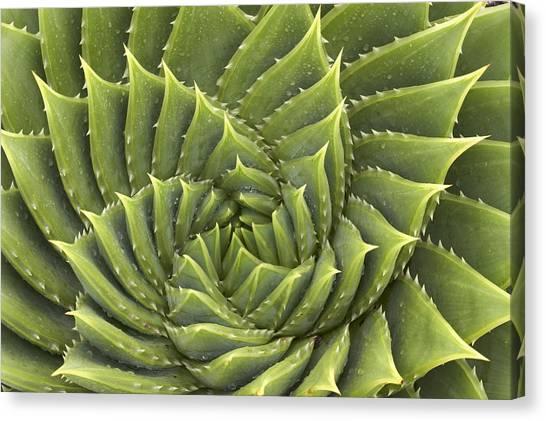 Aloe Polyphylla Canvas Print by Geoff Bryant