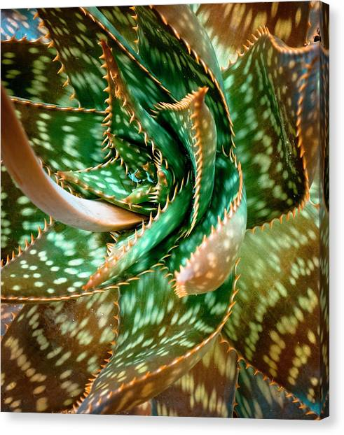 Aloe Saponaria, Soap Aloe Maculata Canvas Print by Frank Tschakert