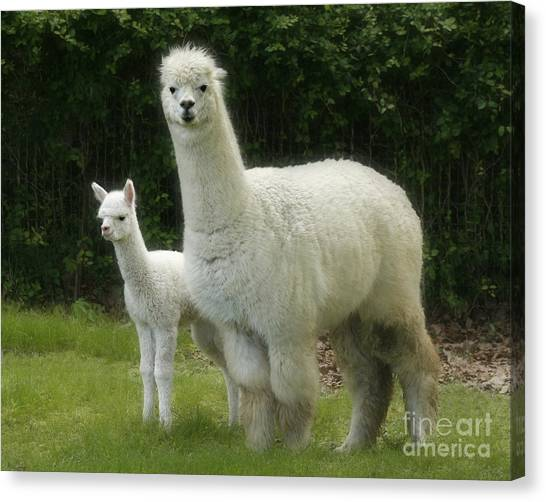 Alpaca And Foal Canvas Print
