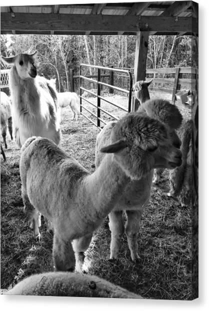 Alpaca Meeting  Canvas Print