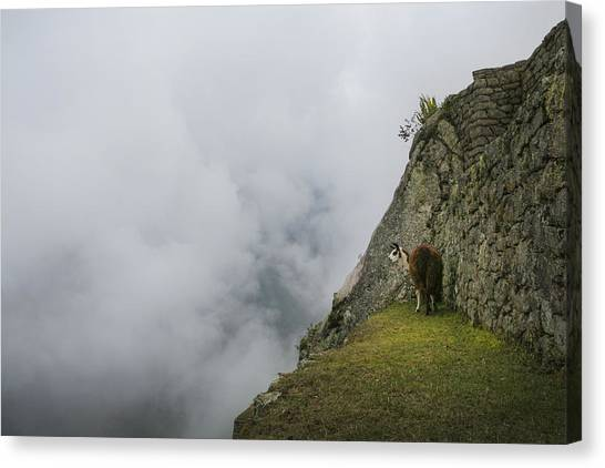 Alpaca On The Edge Canvas Print
