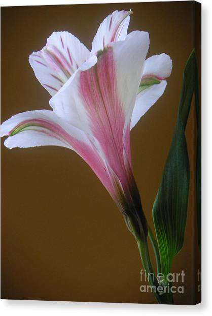 Alstroemeria - Reaching Canvas Print by Lucyna A M Green