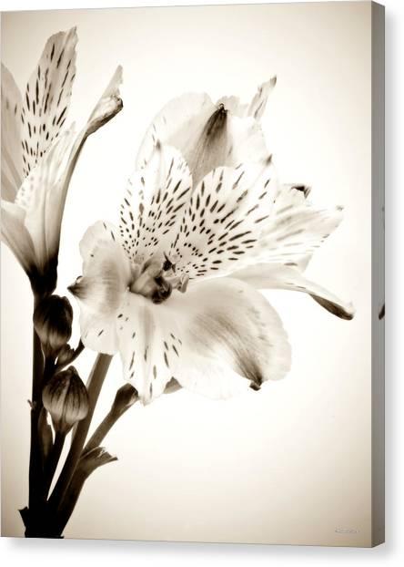 Alstromeria Lily Canvas Print