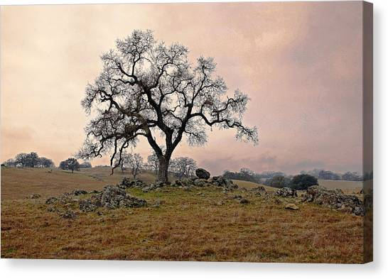 Amador Oak Canvas Print by M Ryan