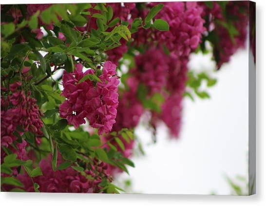 Amaranth Pink Flowering Locust Tree In Spring Rain Canvas Print