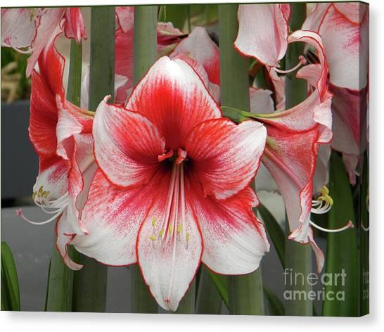 Amarilis Close-up Canvas Print