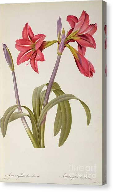 Amaryllis Canvas Print - Amaryllis Brasiliensis by Pierre Redoute