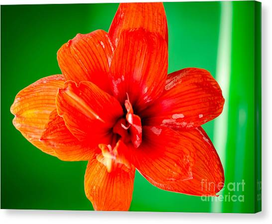 Andy Bloom Canvas Print - Amaryllis Contrast Orange Amaryllis Flower Appearing To Float Above A Deep Green Background by Andy Smy
