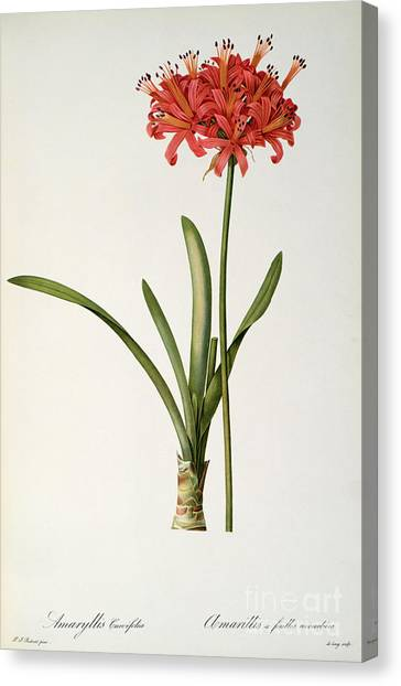 20th Canvas Print - Amaryllis Curvifolia by Pierre Redoute
