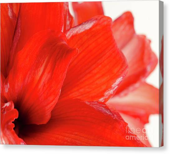 Andy Bloom Canvas Print - Amaryllis Fade Red Amaryllis Flower Subtly Fading Into A White Background by Andy Smy